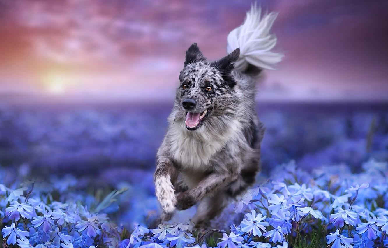 Photo wallpaper field, flowers, nature, dog, running, dog