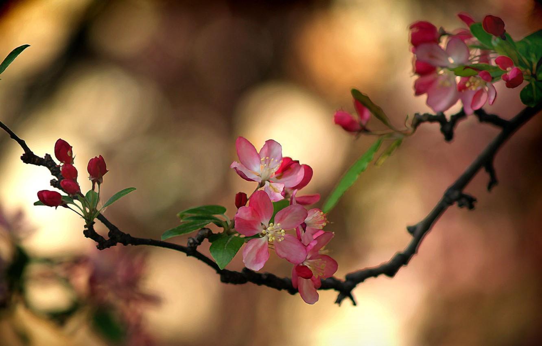 Photo wallpaper Sakura, flowering in the spring, blur bokeh