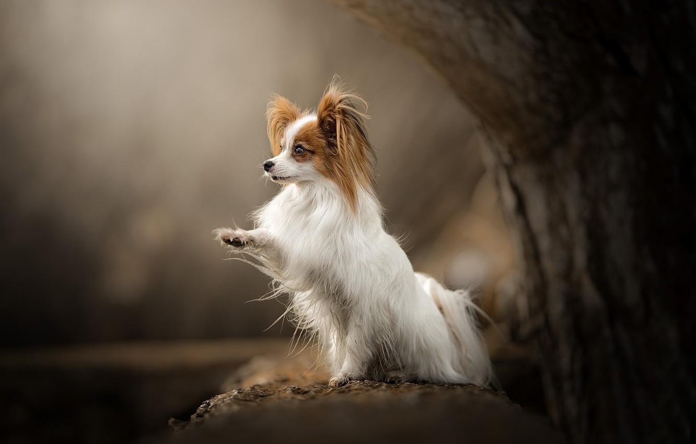 Photo wallpaper tree, paw, dog, bokeh, Papillon, The continental toy Spaniel