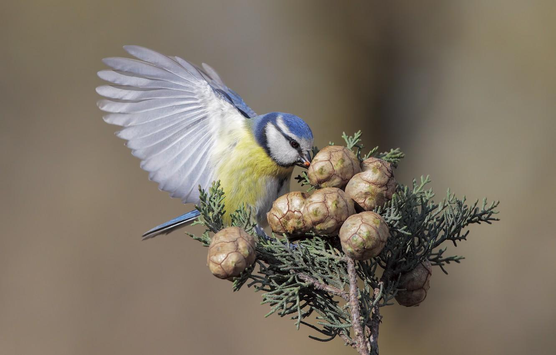 Photo wallpaper bird, bumps, titmouse, tit