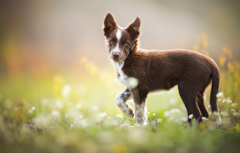 Photo wallpaper puppy, weed, brown, The border collie, Tissaia
