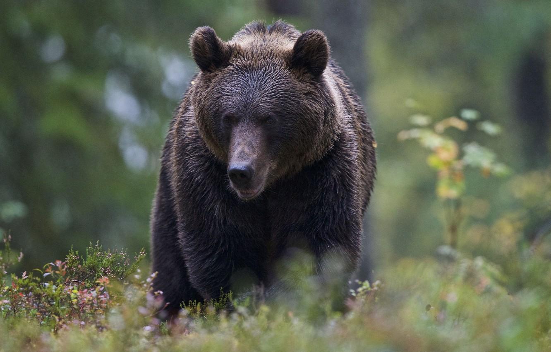 Photo wallpaper forest, bear, bokeh
