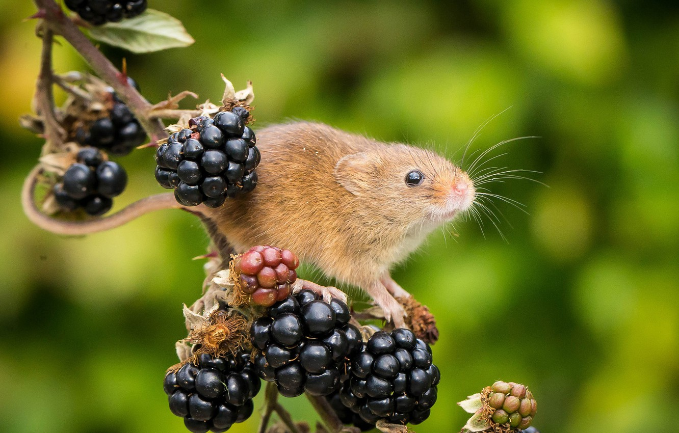 Photo wallpaper berries, background, branch, mouse, BlackBerry, rodent, Harvest Mouse, The mouse is tiny