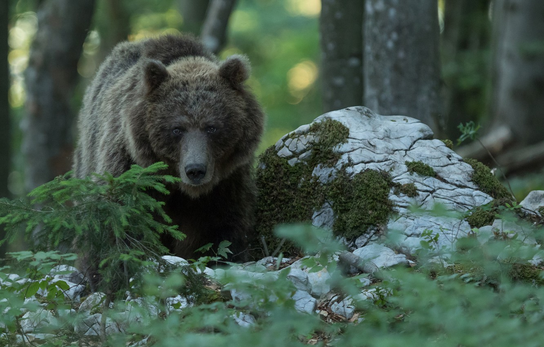 Photo wallpaper forest, bear, the Bruins