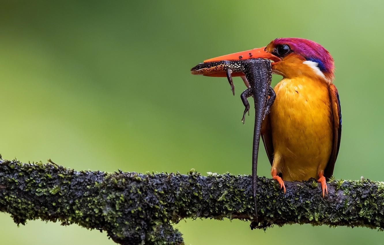 Photo wallpaper bird, branch, lizard, hunter, Kingfisher, catch