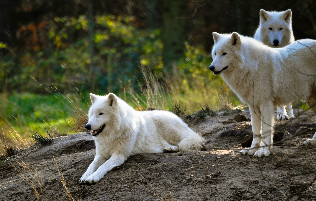 Wallpaper White Summer Nature Background Wolf Pack Group Hill Three Wolves White Zoo Arctic Polar Images For Desktop Section Zhivotnye Download