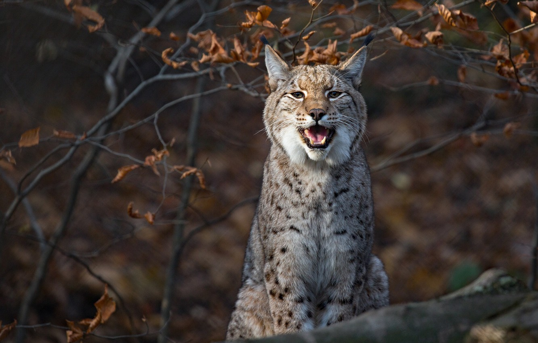 Photo wallpaper branches, lynx, wild cat