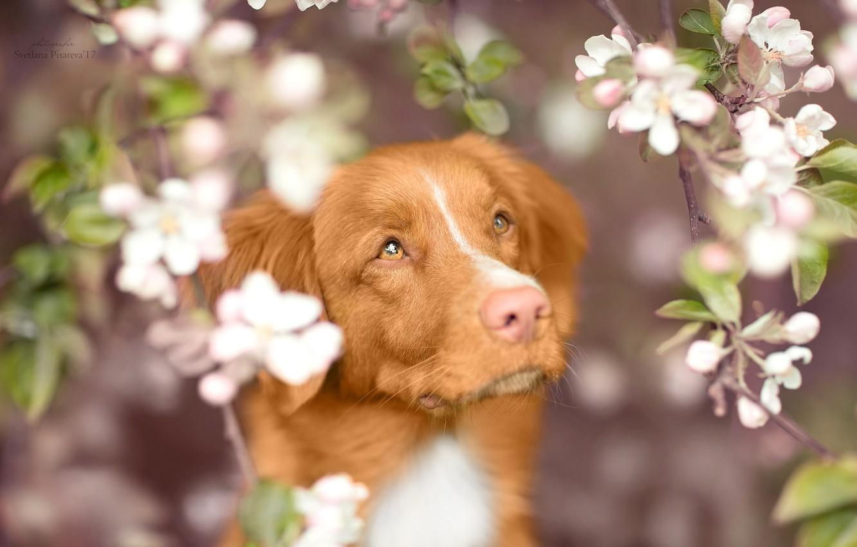 Photo wallpaper look, face, branches, dog, spring, flowering, Nova Scotia duck tolling Retriever