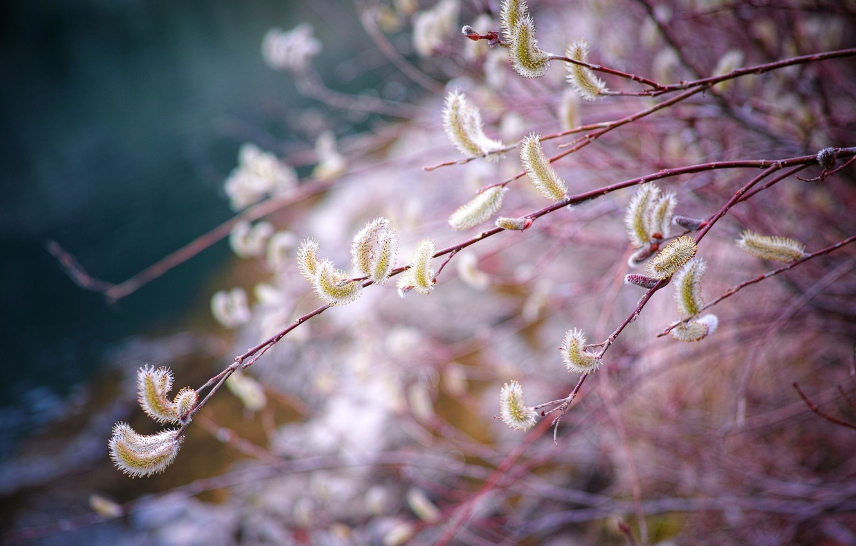 Photo wallpaper branch, spring, Verba