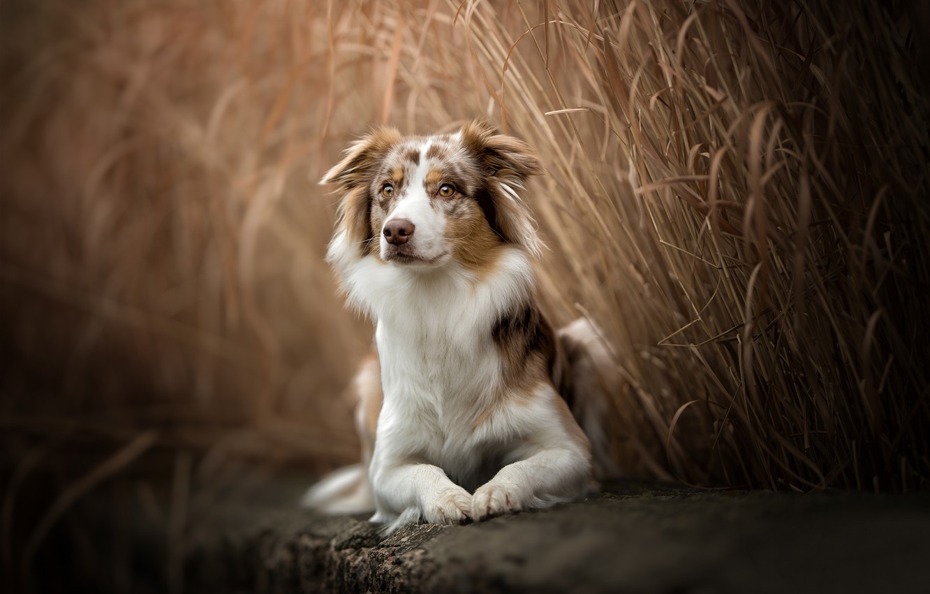Photo wallpaper dog, reed, Australian shepherd, Aussie