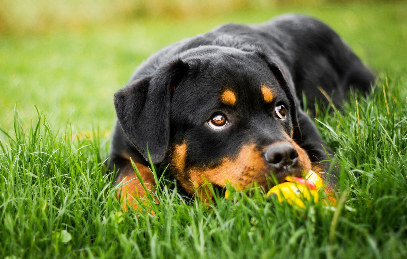 Photo wallpaper greens, grass, eyes, look, face, nature, background, each, glade, black, toy, the game, portrait, dog, …