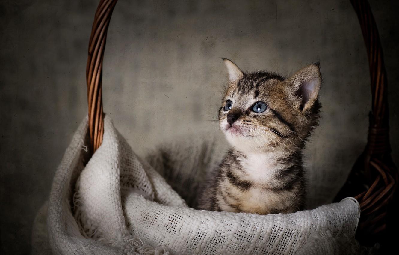 Photo wallpaper basket, baby, muzzle, kitty