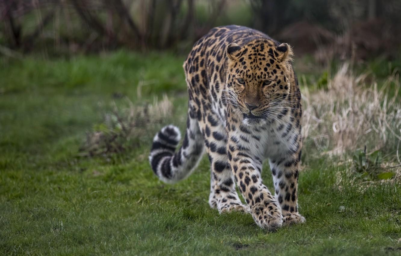 Photo wallpaper spot, leopard, tail