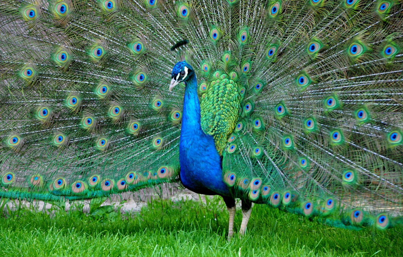 Photo wallpaper bird, feathers, tail, peacock, color