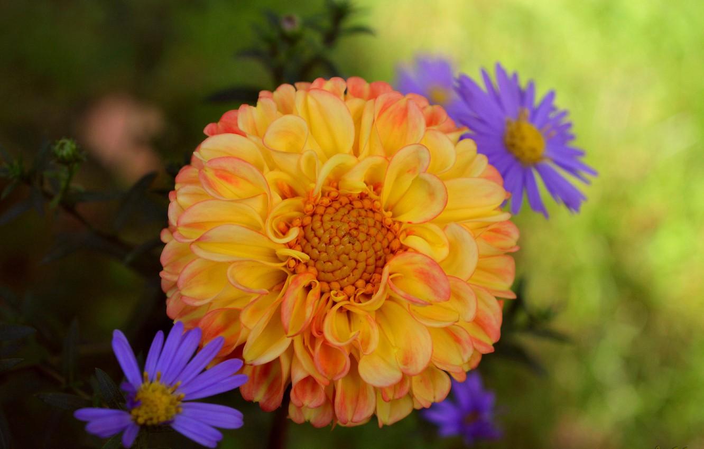Photo wallpaper chrysanthemum, Dahlia, Georgina, Bokeh, Bokeh, Chrysanthemum, Yellow flower, Yellow flower