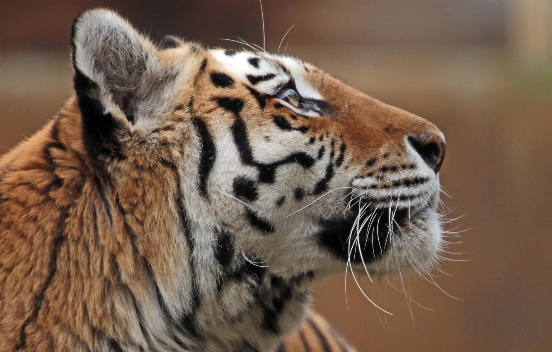 Photo wallpaper face, profile, the Amur tiger