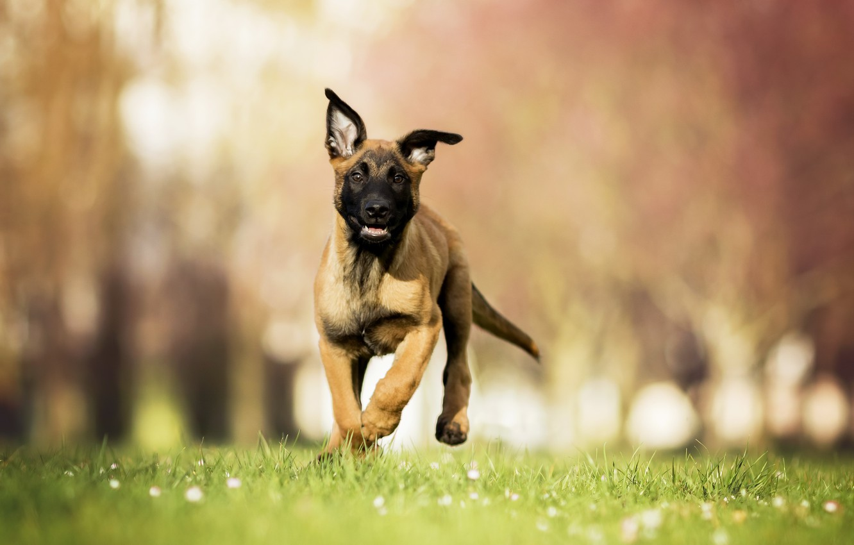 Photo wallpaper dog, spring, puppy