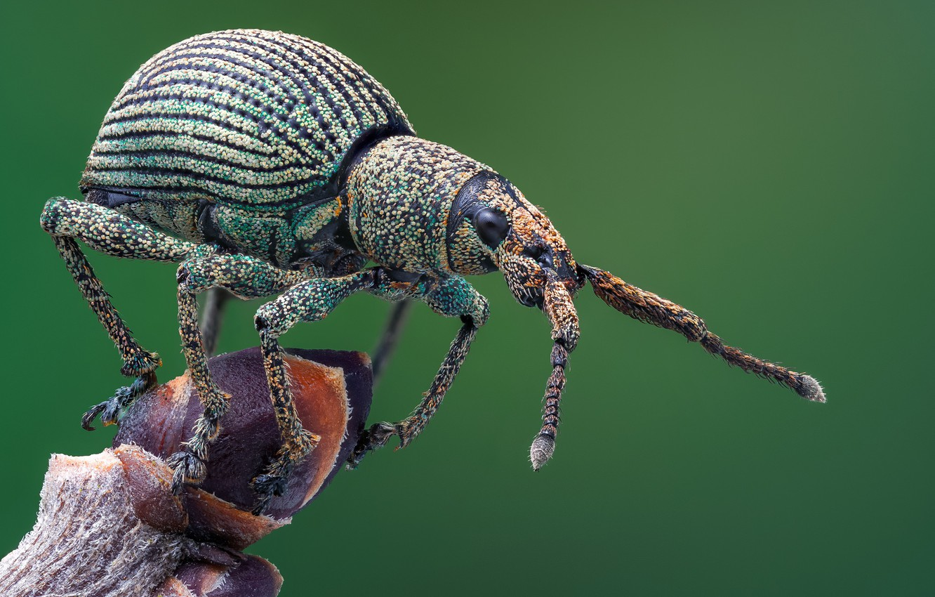 Photo wallpaper macro, beetle, weevil