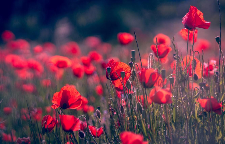 Photo wallpaper field, summer, flowers, background, glade, Mac, Maki, blur, petals, red, al, bokeh, poppy field