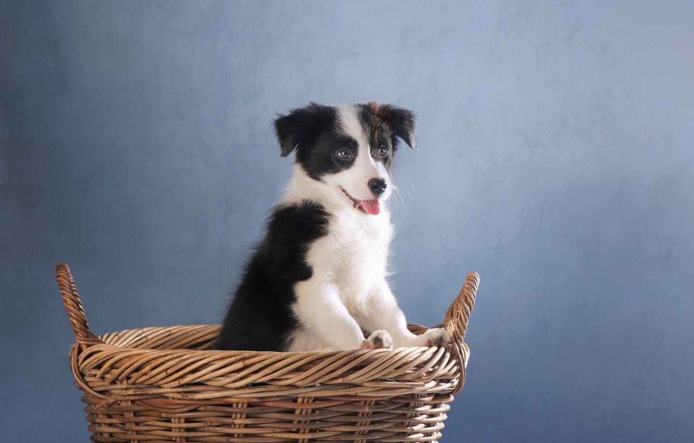 Photo wallpaper background, basket, dog, puppy, The border collie