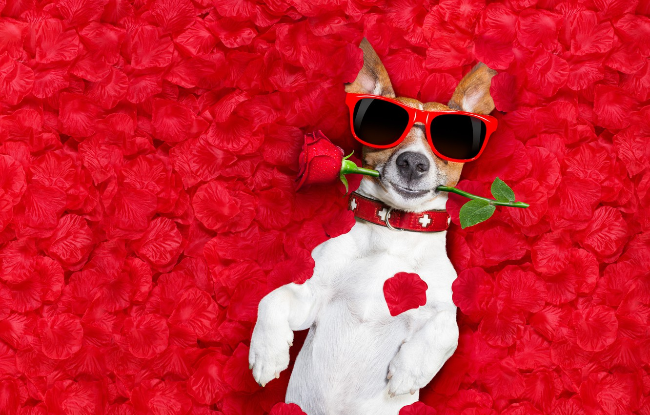 Photo wallpaper flower, background, rose, photoshop, wet, humor, glasses, lies, red, rose petals, Jack Russell Terrier