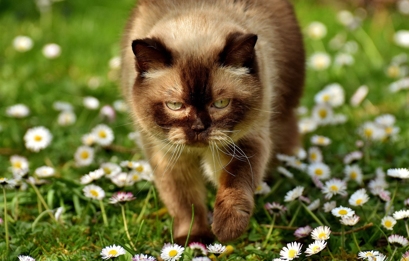 Photo wallpaper greens, cat, summer, eyes, cat, look, face, light, flowers, heat, glade, portrait, chamomile, Sunny, lawn, …