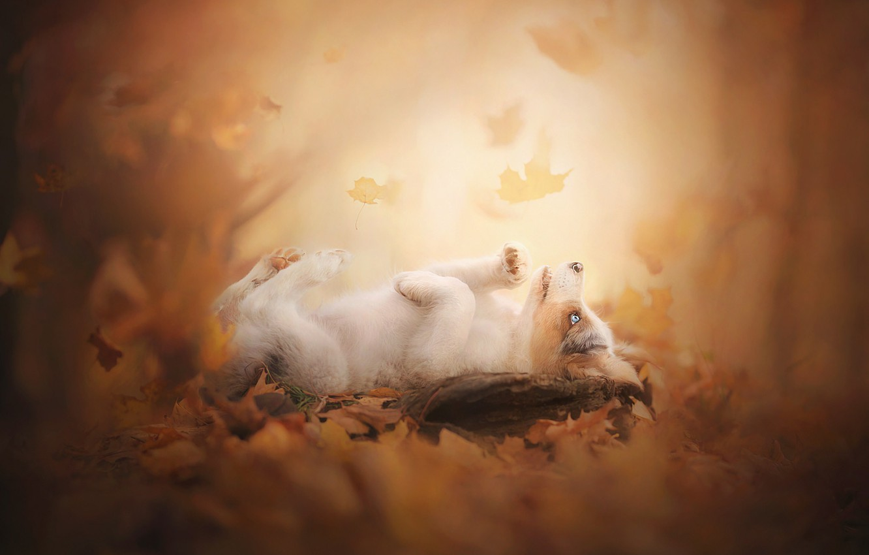 Photo wallpaper autumn, leaves, puppy, bokeh, doggie, Australian shepherd, Aussie