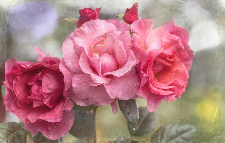 Photo wallpaper rose, texture, petals
