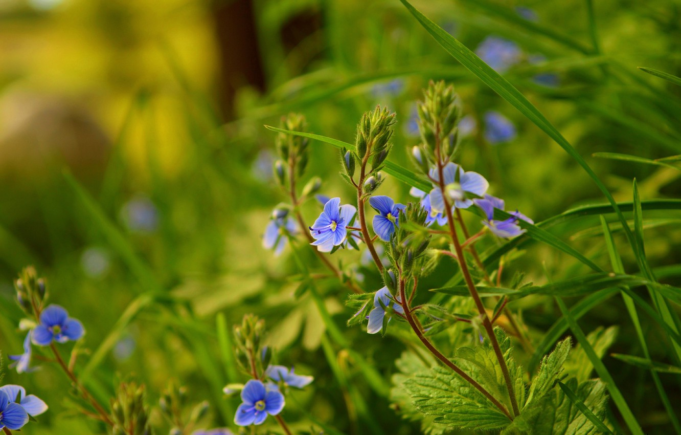 Photo wallpaper Nature, Spring, Nature, Spring, Blue flowers, Blue flowers, Veronica Dubravnaya