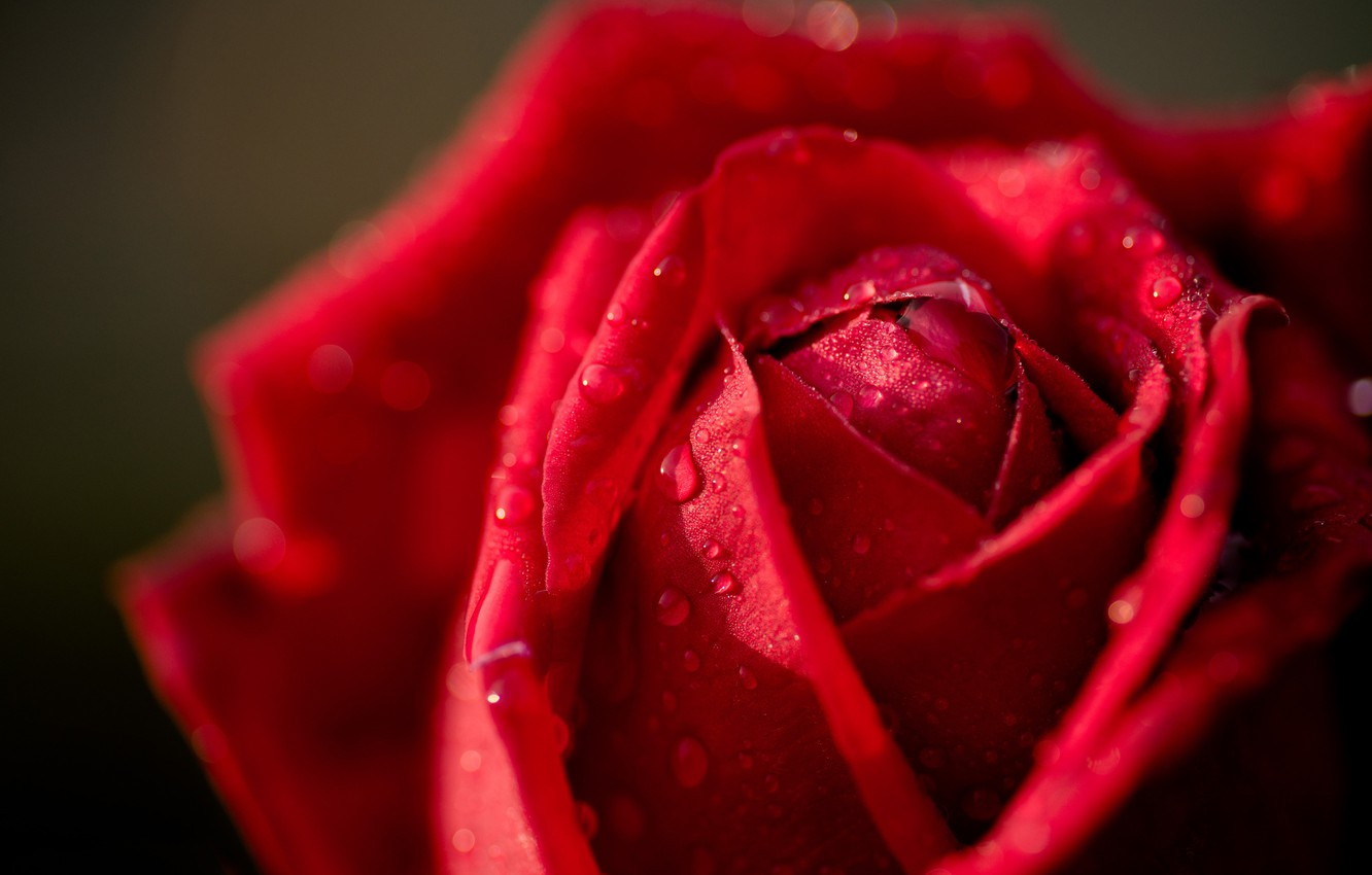 Photo wallpaper drops, macro, rose, Bud, red rose