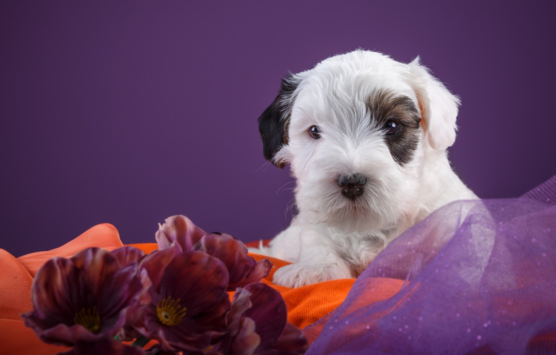 Photo wallpaper baby, puppy, the Sealyham Terrier