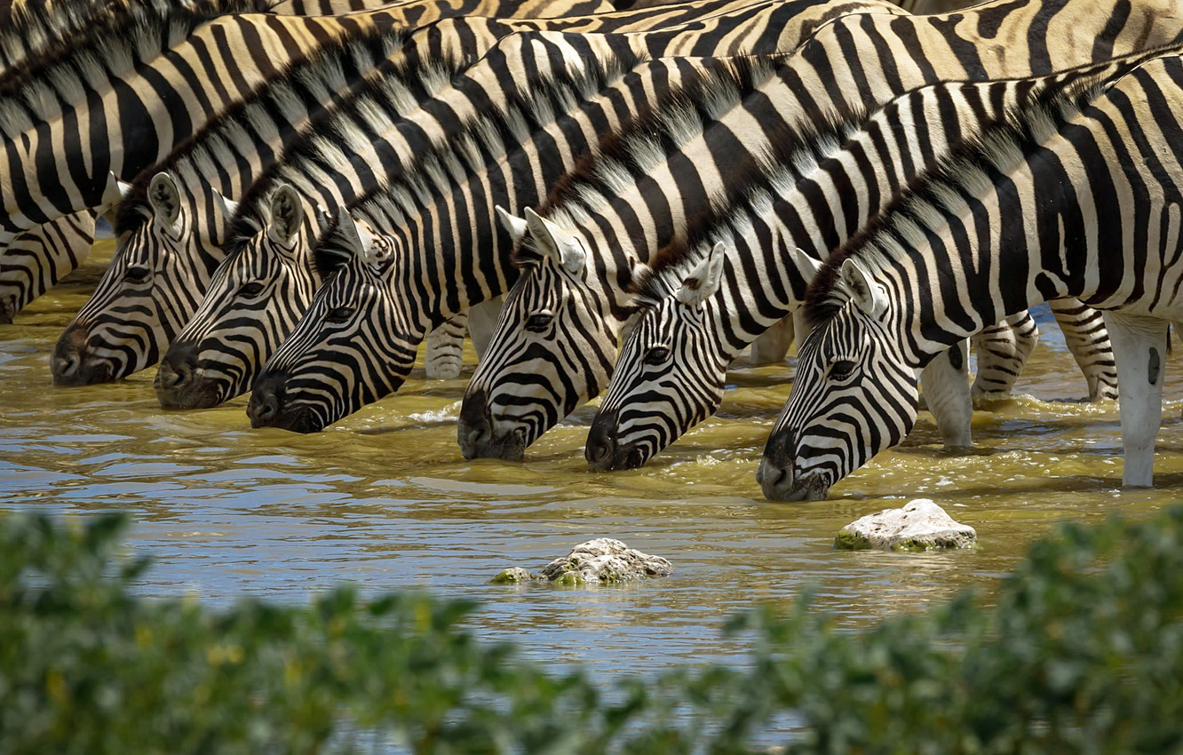 Photo wallpaper nature, drink, Zebra