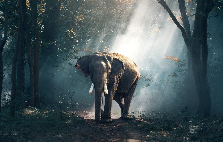 Photo wallpaper elephant, forest, road, tree, asia, wildlife, elefant, tusks, rays of light
