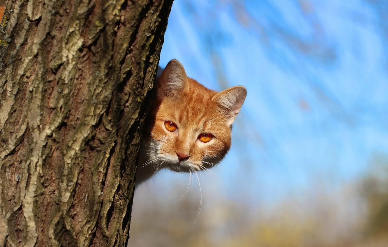 Photo wallpaper cat, look, red, trunk