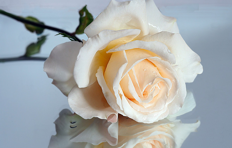 Photo wallpaper macro, reflection, rose, cream