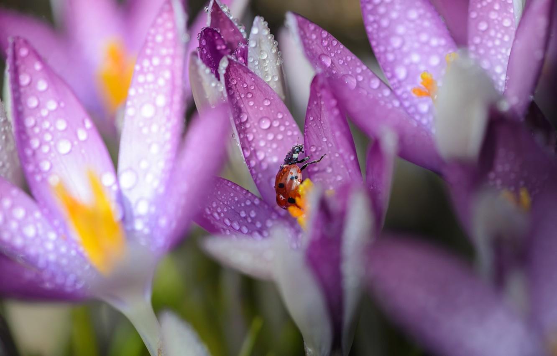 Photo wallpaper macro, flowers, Rosa, ladybug, morning, crocuses