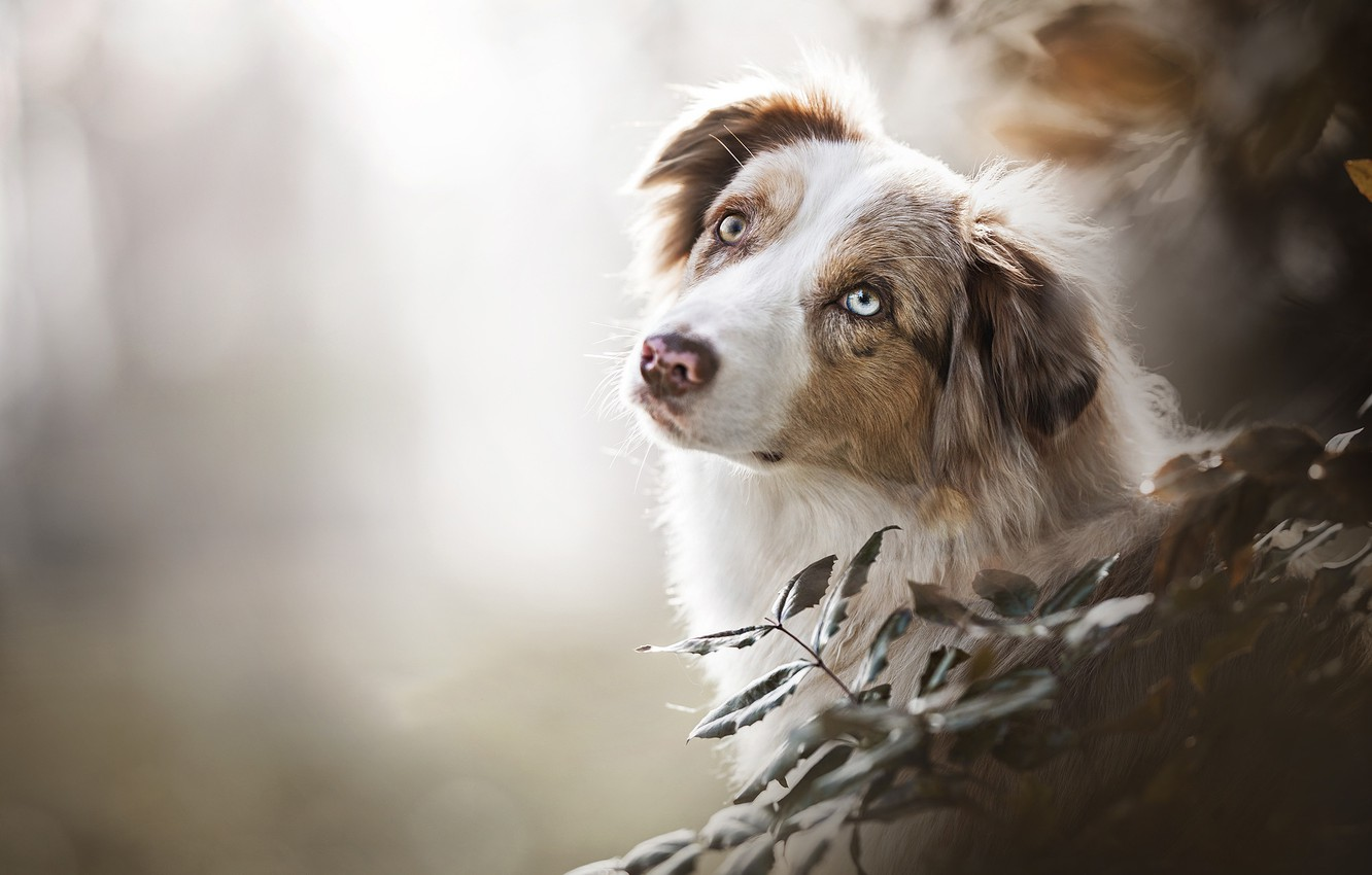 Photo wallpaper look, face, branches, bokeh, Australian shepherd, Aussie