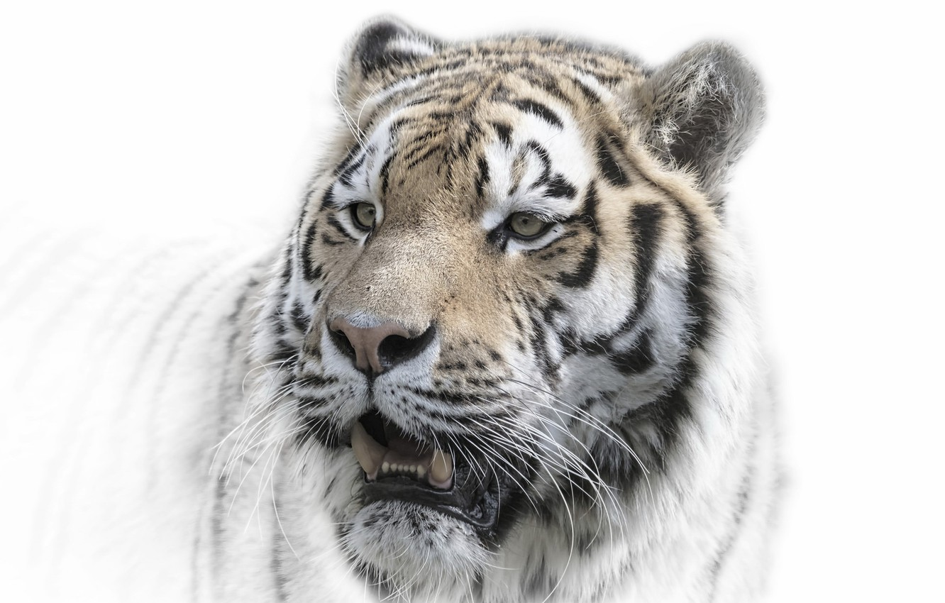 Photo wallpaper tiger, background, nature
