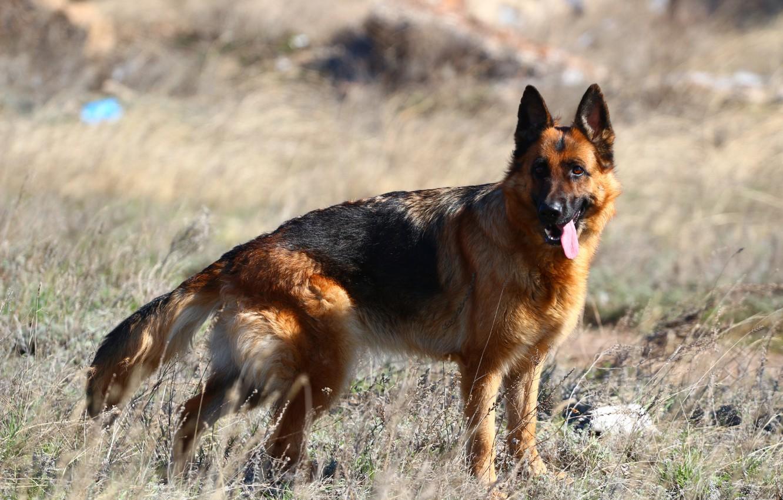 Photo wallpaper language, the steppe, dog, German shepherd