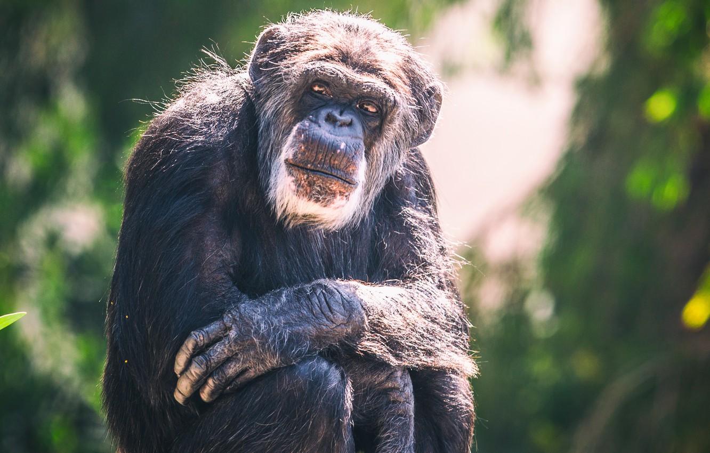 Photo wallpaper monkey, bokeh, chimpanzees