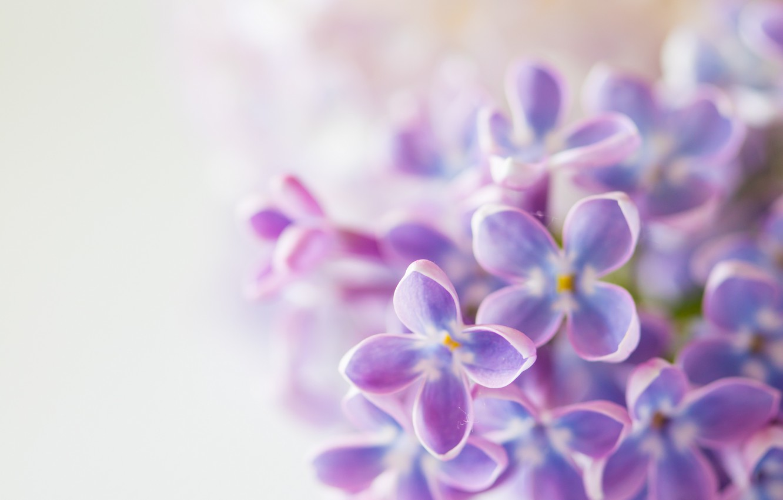 Photo wallpaper leaves, flowers, spring, flowering, lilac