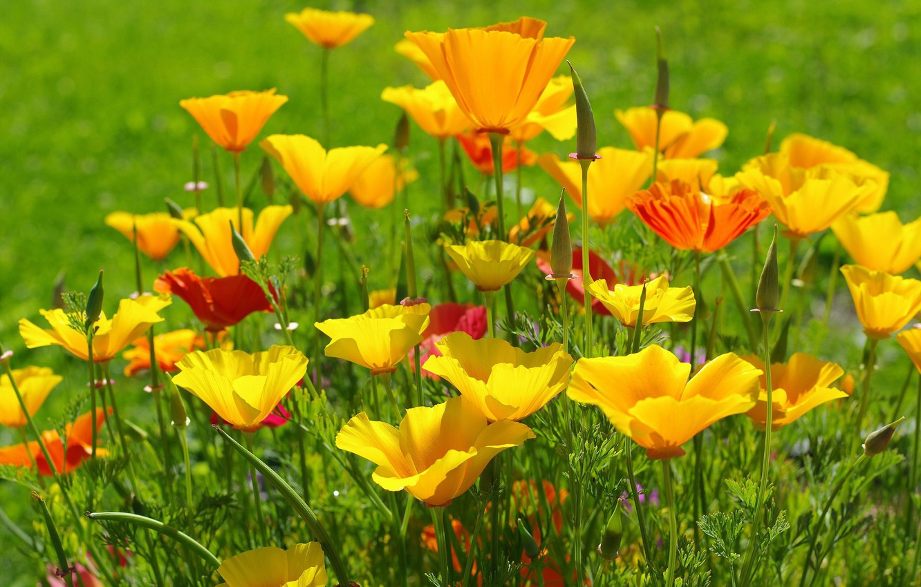 Photo wallpaper summer, flowers, nature, beauty, cottage, flora, July, escholzia, yellow
