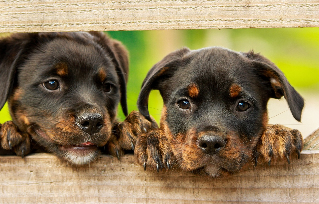 Photo wallpaper dogs, green, background, Board, the fence, legs, puppies, puppy, kids, a couple, brown, two, cuties, …