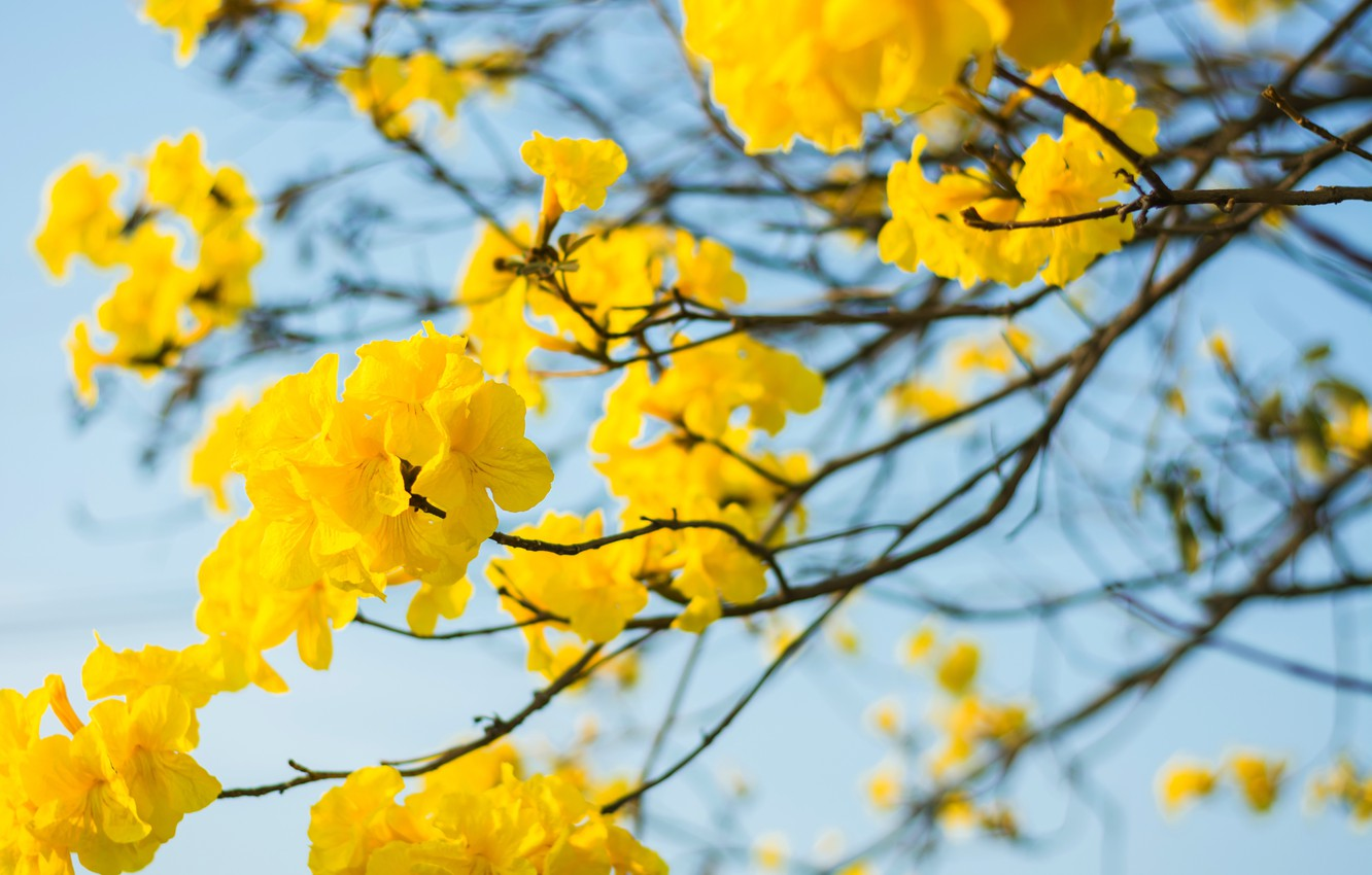 Wallpaper The Sky Flowers Branches Spring Yellow Flowering