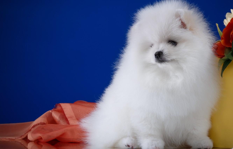Photo wallpaper white, cute, Spitz