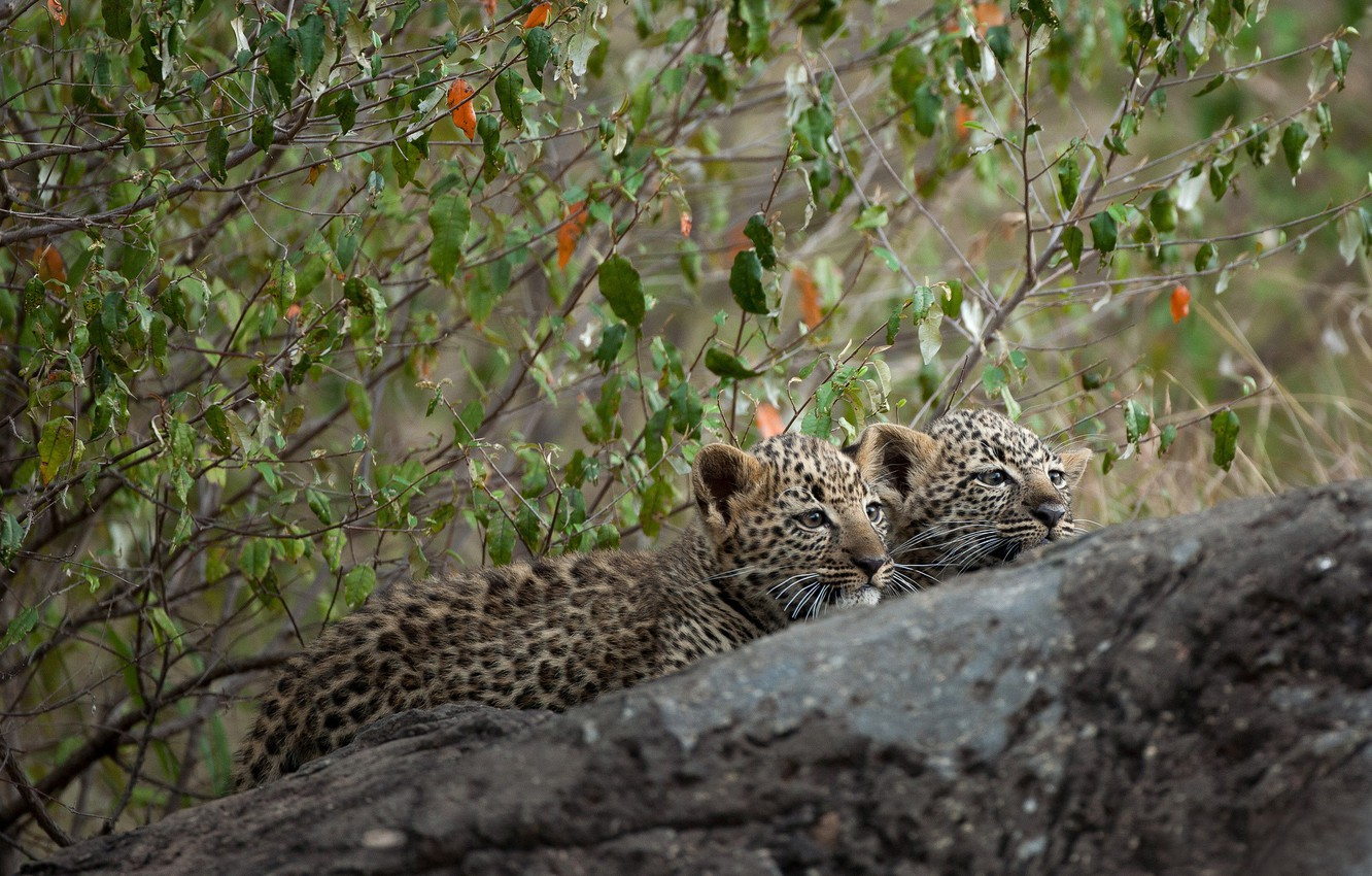 Photo wallpaper branches, tree, stone, kittens, a couple, leopards, cubs