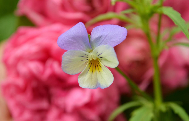 Photo wallpaper Spring, Flower, Spring, Bokeh, Bokeh, Viola tricolor, Flower