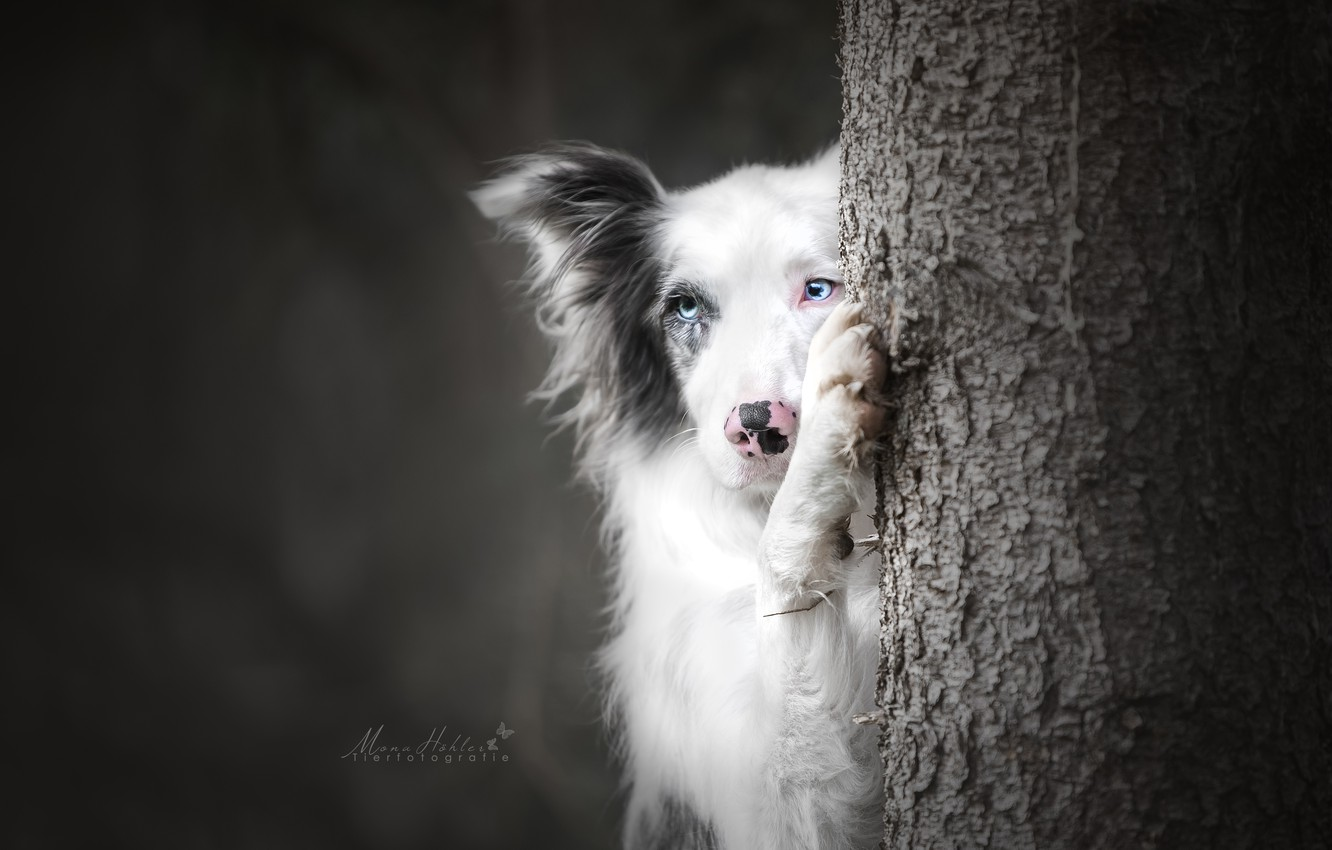 Photo wallpaper face, background, tree, paw, dog, The border collie