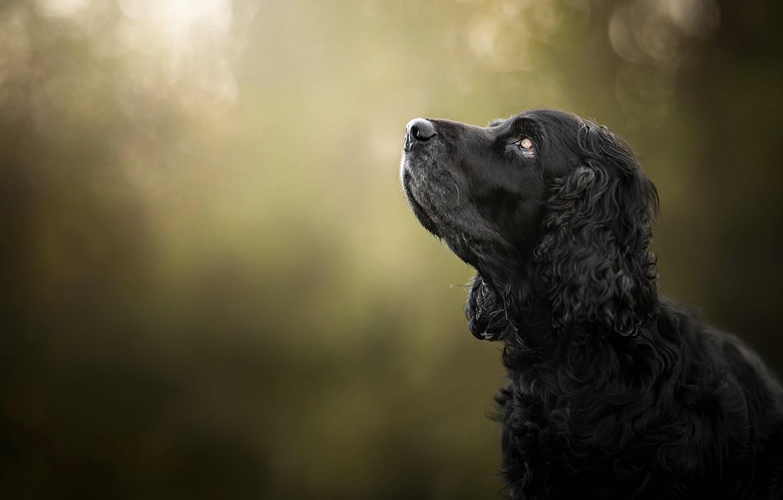 Photo wallpaper face, background, portrait, dog, profile, bokeh