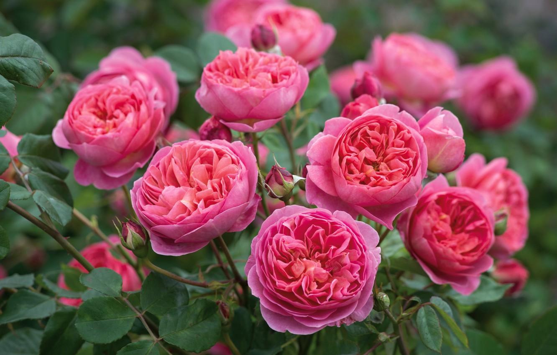 Photo wallpaper pink, Bush, roses, stinky